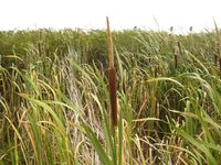 Typha capensis.