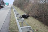 Schafböcke an der Autobahn 61