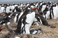 Enge nachbarschaftliche Beziehungen: Seevögel brüten  oft in dichten Kolonien, wie hier die Eselspinguine in den Falkland-Inseln. Was vor Freßfeinden schützt, begünstigt Zecken und andere Blutsauger, die Krankheiten übertragen könnten. Diese Population war jedoch frei von Blutparasiten. Quelle: P. Quillfeldt/MPI f. Ornthologie (idw)