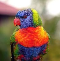 Loris (Papageien) Bild: Louise Docker / wikipedia.org