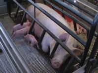 schweinestall: Sau mit Ferkeln im modernen Kastenstand