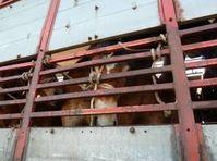 Pferdetransport: Extreme Enge und Hitze. Bild: Animals Angels
