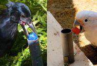 Ein würfelförmiges Spielzeug wird in ein vertikales Rohr gesteckt. Links: Neukaledonische Krähe; rechts: Goffin Kakadu Quelle: Copyright: Alice Auersperg & Auguste von Bayern (idw)