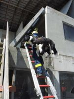 Rettungshunde beim THW dürfen nicht zu schwer und Rettungshundeführerin müssen eine gute Kondition haben. Der Leitertransport des Hundes erfolgt mit Rucksackgeschirr.