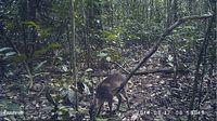 Standbild eines Maxwell-Duckers aus einem Video, das 2014 von einer Kamerafalle im Taï Nationalpark an der Elfenbeinküste aufgenommen wurde. Quelle: (Bild: MPI-EVA) (idw)