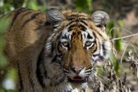 """Verwaiste Jungtiere sind die Hoffnung für Indiens Tigerbestand. Sie werden ausgewildert und könnten ehemalige Tigerreviere neu besiedeln. Bild: """"obs/ZDF"""""""