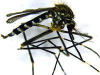 Aedes japonicus japonicus Quelle: Foto: Dorothee Zielke (idw)