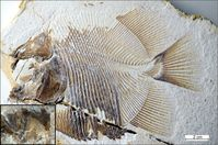 Foto des Fossils im Jura-Museum Eichstätt inkl. Details der furchterregenden Zähne. Quelle: M. Ebert & Th. Nohl (idw)