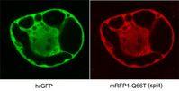 Zusammenarbeit in grün und rot: Kölner Wissenschaftler haben mit den beiden Bildern nachgewiesen, dass ihr neu entwickeltes Fluoreszenzprotein (RFP) Protein-Wechselwirkungen in Zellen nachweisen kann. Dafür haben sie das RFP zerteilt und die beiden Hälften an zwei grün fluoreszierende Proteine geheftet, von denen bekannt war, dass sie miteinander wechselwirken. Dadurch vereinigten sich auch die Hälften des RFP, und das Protein leuchtet rot. Bild: Max-Planck-Institut für Züchtungsforschung/Guido Jach