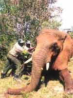 Ein ruhig gestellter Elefant wird auf seine Verladung vorbereitet. Das Foto ist bei einer früheren Umsiedelungsaktion in Uganda entstanden. Bild: IFAW/I. Vincent