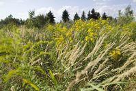 Die Kanadische Goldrute (Solidago canadensis), eine Nordamerikanische Auenpflanze, wurde in Europa als Ziepflanze eingeführt. Sie verbreitet sich erfolgreich auf Brachflächen. Bild: André Künzelmann/UFZ