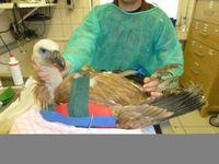 Gänsegeier auf der Intensivstation Foto: Klinik für Vögel & Reptilien - JLU Giessen