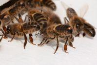 Sterzelnde Dunkle Bienen (Apis mellifera mellifera) vor dem Flugloch. Deutlich zu erkennen sind der breite, schwarze Hinterleib mit den schmalen Filzbinden und dem stumpfen Ende.