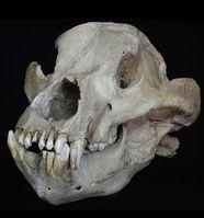 Schädel des Höhlenbären aus dem Pleistozän. Bild: Senckenberg, Sven Tränkner