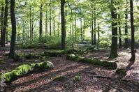 So schön ist es in unseren Buchenwäldern. Bild: Greenpeace