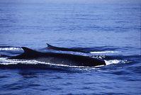 Zwei Finnwale