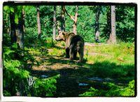 Naturwald mit Bär (Symbolbild)