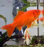 Der Goldfisch ist ein Süßwasserfisch aus der Familie der Karpfenfische (Cyprinidae) und ein Haustier. Vor etwa eintausend Jahren im östlichen China durch züchterische Selektion entstanden, ist der Goldfisch das älteste bekannte Haustier, welches ohne direkten, wirtschaftlichen Nutzen als Haltungs- und Zuchtgrund gehalten wird.