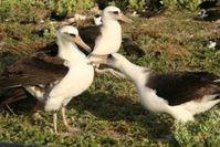Albatrosse fressen zu viel Plastik. Bild: US Fish & Wildlife