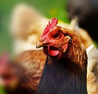 Huhn: Forscher analysieren Geflügel-Sprache. Bild: pixelio.de/RainerSturm