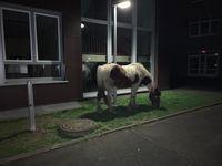 Schneller Fahndungserfolg nach entlaufenen Pferden Bild: Polizei