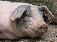 Glückliches Schwein (Symbolbild)