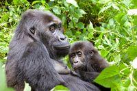 """Grauers Gorilla / Östliche Flachlandgorilla (Gorilla beringei graueri) in der Demokratischen Republik Kongo.Eastern lowland gorilla or Grauer's gorilla (Gorilla beringei graueri) in the Democratic Republic of the Congo. Mwinja (""""loved one""""), adult female in Chimanuka´s family, mother of Mwira /  Bild: """"obs/WWF World Wide Fund For Nature/Carlos DREWS"""""""