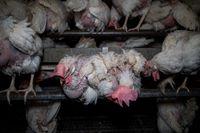 Hühnerleid für Bio-Eier der Marke Landkost-Ei