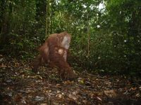An adult female orangutan carrying a young infant which was photographed by camera trap as she moved Quelle: © Andrew Hearn and Joanna Ross (idw)