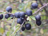 Früchte des Schlehdorns.