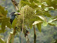 Große fruchtfressende Vögel wie der Blautukan (Andigena hypoglauca) sind für die Verjüngung vielfältiger Tropenwälder essentiell. Quelle: Copyright: Matthias Schleuning, Senckenberg (idw)
