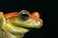 """80 Prozent aller indischen Lurch-Arten sind vom Aussterben bedroht.  Bild: """"obs/3sat/Vijay Bedi"""""""