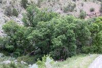 Walnussbäume