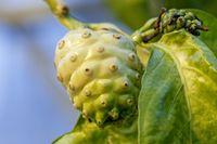 Die Frucht des Noni-Baums (Morinda citrifolia) enthält giftige Säuren und wird dennoch von Fruchtfliegen der Art Drosophila sechellia als ausschließliche Nahrungsquelle genutzt. Quelle: Anna Schroll (idw)