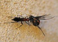 Agenioideus nigricornis (Hymenoptera: Pompilidae) erbeutet eine Rotrückenspinne (Latrodectus hasselti). Quelle: Foto: Florian und Peter Irwin. (idw)