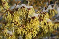 Zaubernüsse für jeden Garten - Blütenpracht und Wohlgeruch auch im Winter