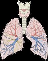 Bronchialsystem, Bronchien in verschiedenen Farben dargestellt Bild: Patrick J. Lynch, medical illustrator / de.wikipedia.org