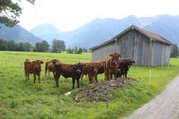 Murnau-Werdenfelser Rinder Bild: S. Rheinische Kulturlandschaft Fotograf: nova-Institut GmbH