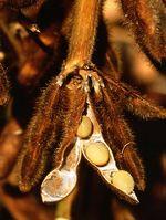 Sojabohne (Glycine max), reife Hülsen