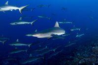 """Die Sonderprogrammierung """"Hai Life"""" im August auf National Geographic / Bild: """"obs/Nat Geo Wild/NHNZ/Anthony Berberian"""""""