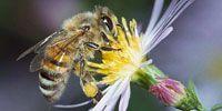 Weltweit sterben Bienenvölker aus und unsere gesamte Nahrungskette ist in Gefahr. Wissenschaftler machen bestimmte toxische Pestizide dafür verantwortlich und vier europäische Regierungen haben diese bereits verboten. Wenn wir die USA und die EU zum gemeinsamen Verbot bewegen, könnten viele Regierungen weltweit dem Beispiel folgen und die Bienen vor dem Aussterben retten. Quelle: Avaaz