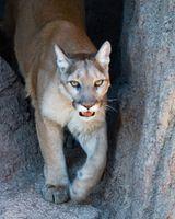 Der Puma (Puma concolor) ist eine Katzenart Nord- und Südamerikas.