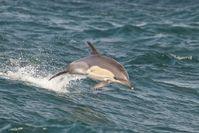 Der Gemeine Delfin (Delphinus delphis), auch Gewöhnlicher Delfin genannt, trägt seinen Namen, weil er über Jahrhunderte die bekannteste Art der Delfine war.