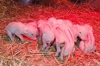 Forschende der Vetmeduni Vienna bestätigten erstmals einen gegen Toltrazuril resistenten Stamm von Cystoisospora suis, einem vor allem bei Saugferkeln häufigen Durchfallerreger. Quelle: Michael Bernkopf/Vetmeduni Vienna (idw)