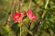 Arten wie die die Wein-Rose (Rosa rubiginosa) werden nur schwer auszurotten sein, weil sie inzwischen weit verbreitet sind, fürchten Wissenschaftler in ihrer Studie über invasive Arten in Chile und Argentinien. Besonders 22 gebietsfremde Arten, die in Chile an den Verbindungsstraßen ins Nachbarland vorkommen, stellten ein hohes Risiko dar. Foto: Stefan Klotz/UFZ