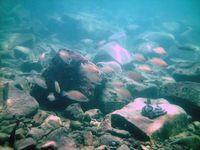 Eine Kolonioe Buntbarsche (Neolamprologus caudopunctatus) im Tanganyikasee in sieben Metern Tiefe Quelle: Foto: Stefanie Schwamberger (idw)