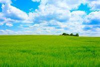 Feld: Monsanto hat für Genweizen keine Erklärung. Bild: pixelio.de, J. Christ