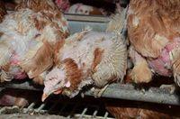 Hühner einer Bio-Legehennenhaltung, Bild: PETA