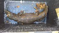 Das Bild zeigt das in Schlitz aufgefundene verendete Krokodil.