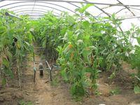Biobauern: Ökologischer Gemüsebau im Folientunnel
